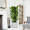 Ficus straight  in pot Patt