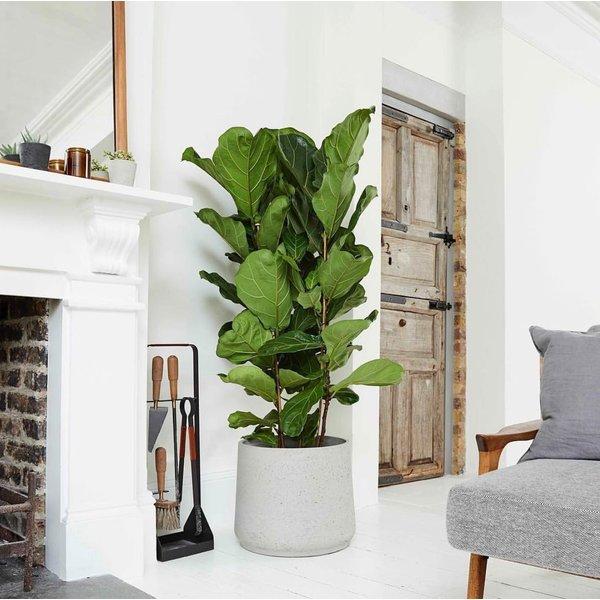 Ficus Lyrata Straight in pot Patt