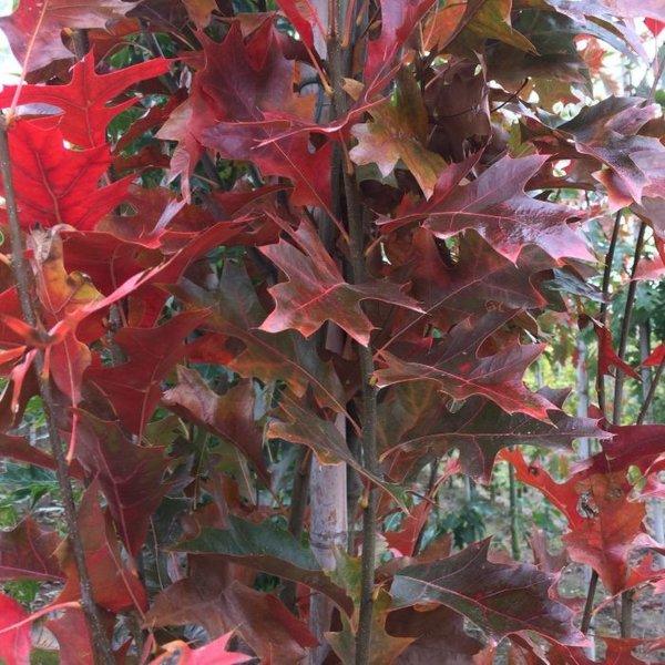 Quercus palustris 'Green Pillar' Moeraseik