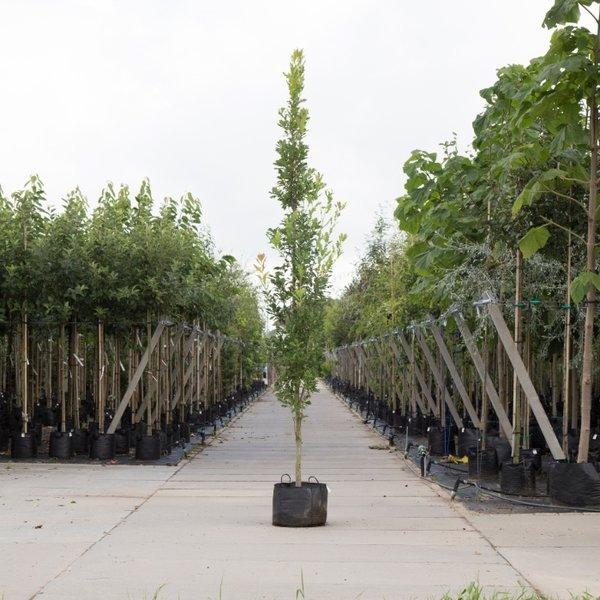 Quercus robur 'Fastigiata Koster' Piramidale Eik