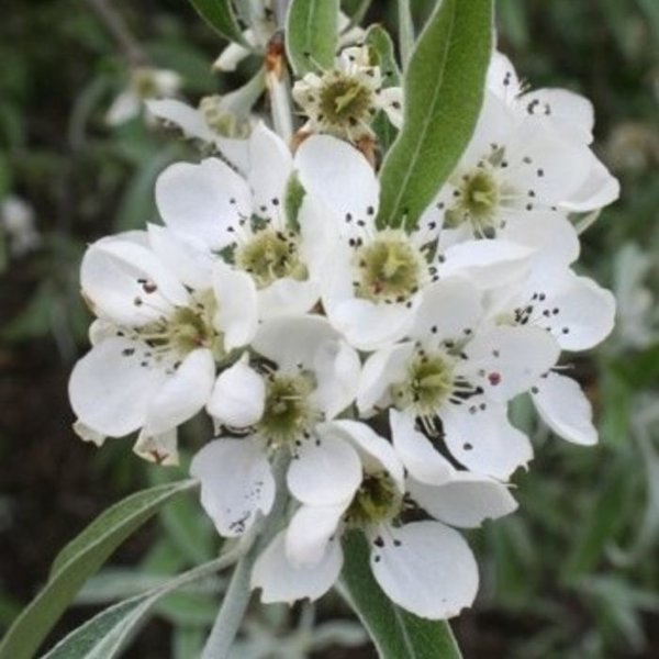 Pyrus salicifolia 'Pendula' Sierpeer