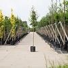 Prunus serrulata 'Kanzan' Japanse sierkers