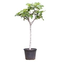 Vijgenbomen