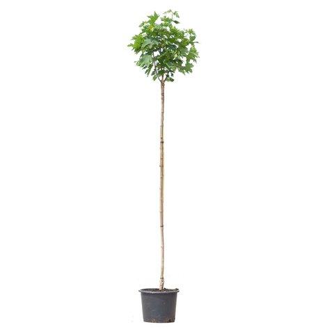 Acer platanoides 'Globosum' - Bol