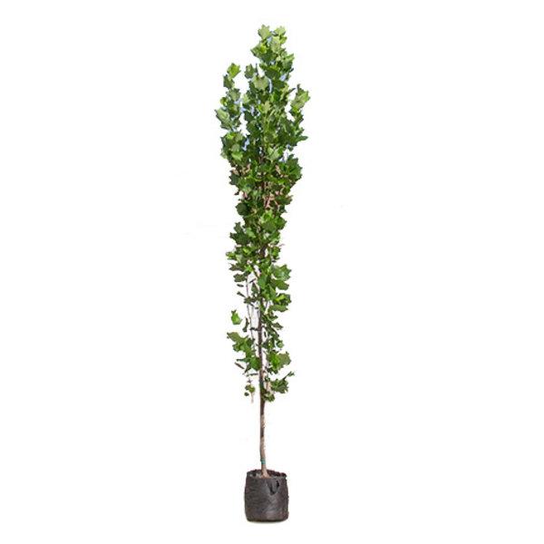 Liriodendron tulpifera 'Fastigiata' Tulpenboom