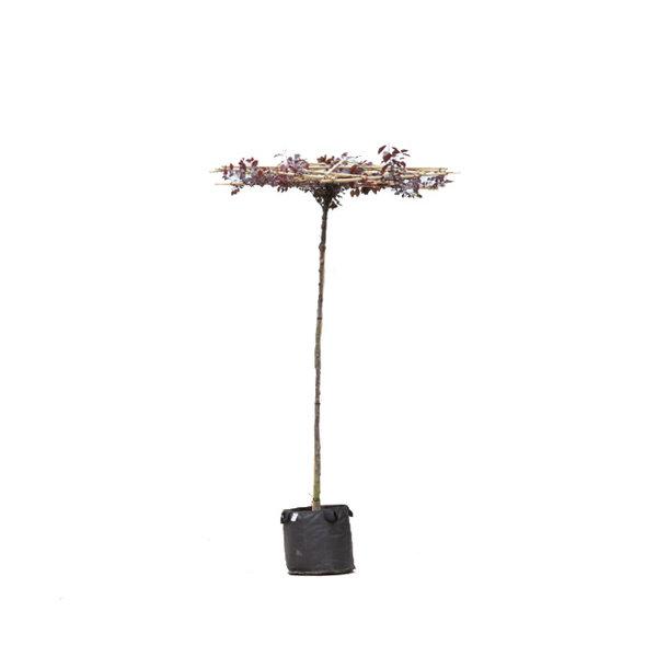 Dak-sierpruim 'Prunus cerasifera nigra'