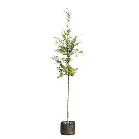 Fleur.nl - Fagus sylvatica Groene Beuk - boomvorm