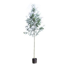 Fleur.nl - Sorbus aucuparia