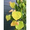 Cercis canadensis 'Hearts of Gold' Judasboom