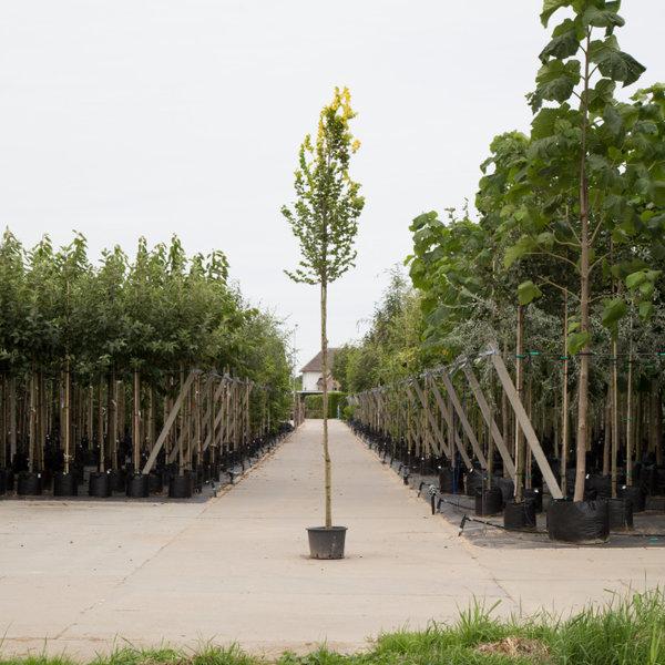 Ulmus hollandica 'Wredei' Goudiep - hoogstam