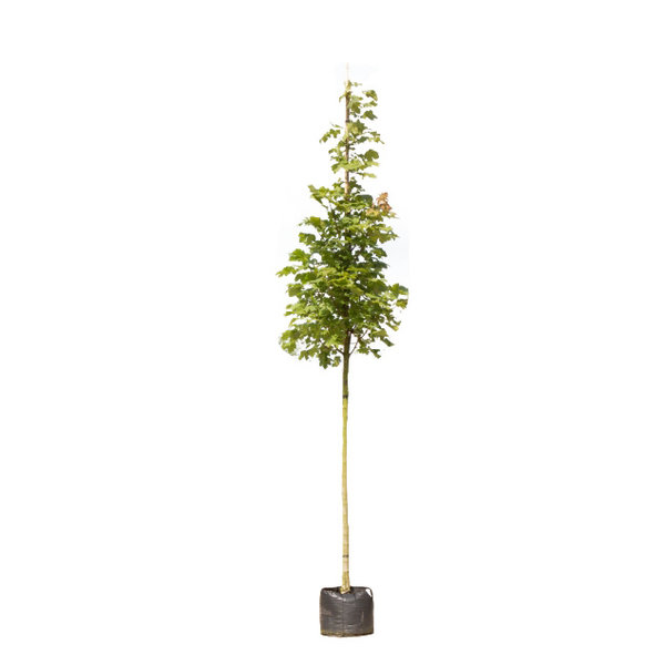Acer platanoides 'Columnare' Zuil Esdoorn