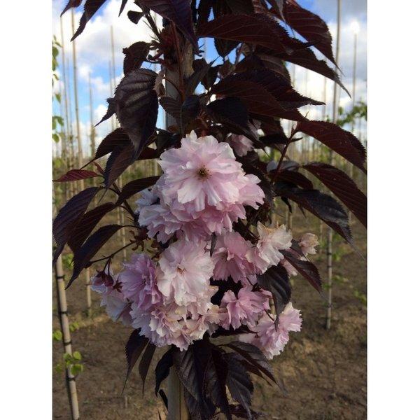 Robinia 'Casque Rouge' Roze Schijn Acacia