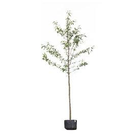 Fleur.nl - Prunus avium 'Plena' Dubbelbloemige Sierkers
