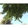 Pterocarya fraxinifolia Vleugelnoot