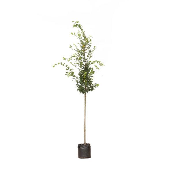 Carpinus betulus - boomvorm