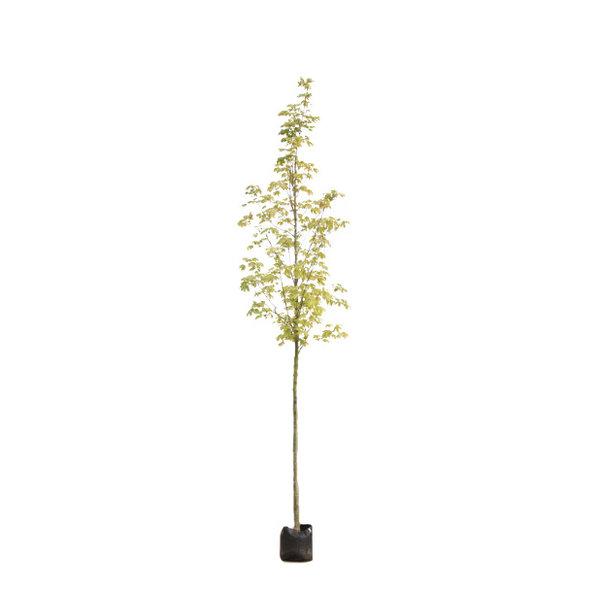 Acer platanoides 'Drummondii' Noorse Esdoorn