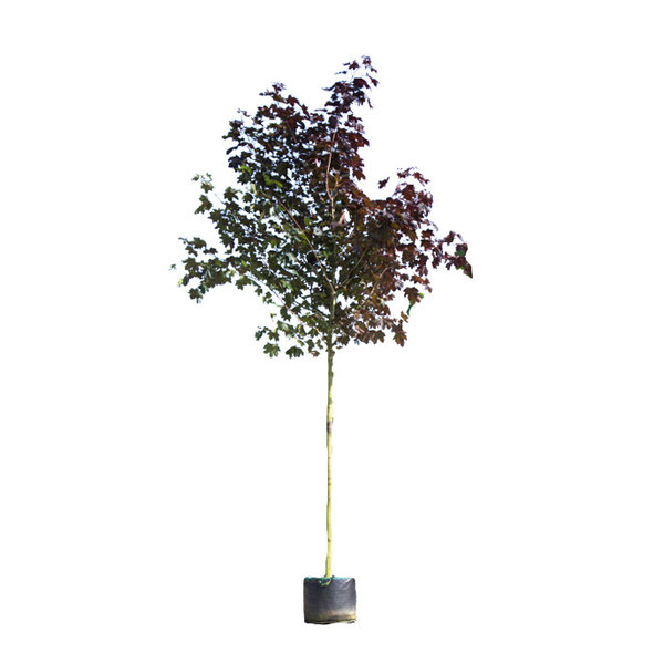 Acer platanoides 'Royal Red' Noorse Esdoorn