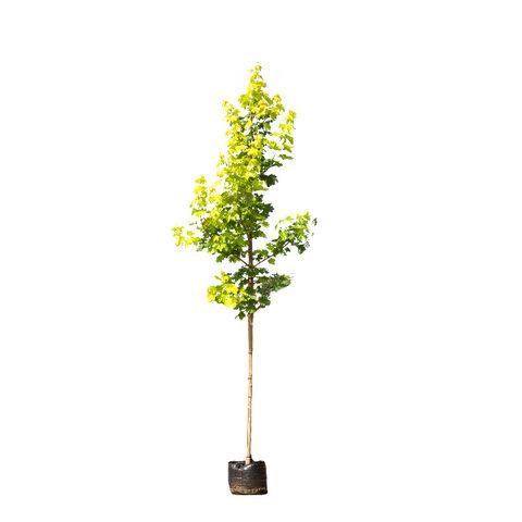 Acer platanoides 'Princeton Gold' Noorse Esdoorn