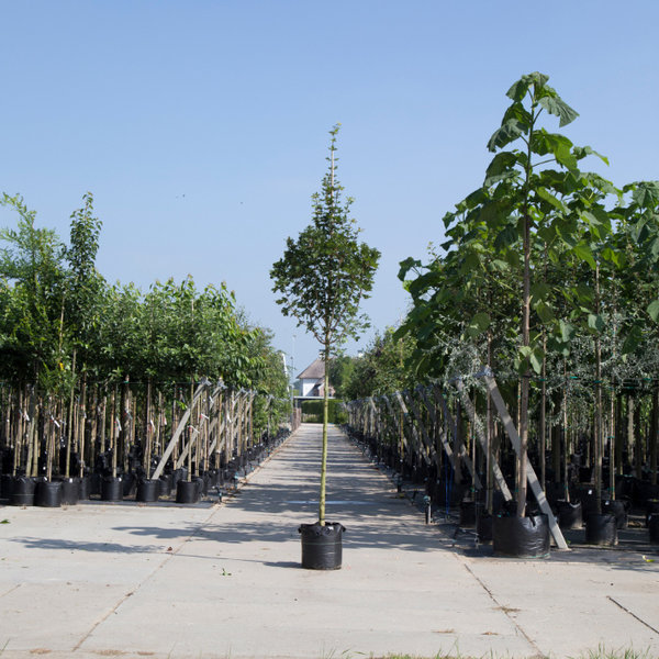 Acer campestre 'Huibers Elegant' Spaanse Aak
