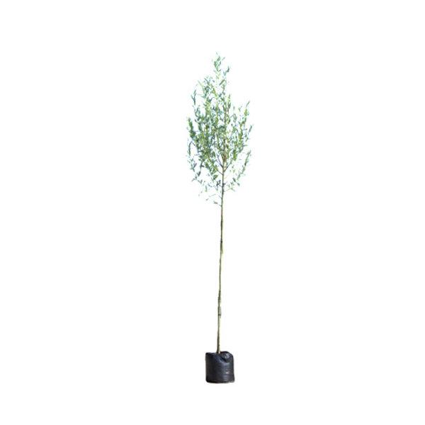 Salix alba Witte Wilg