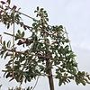 Photinia leiboom Small
