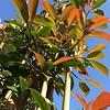 Photinia Glansmispel leiboom