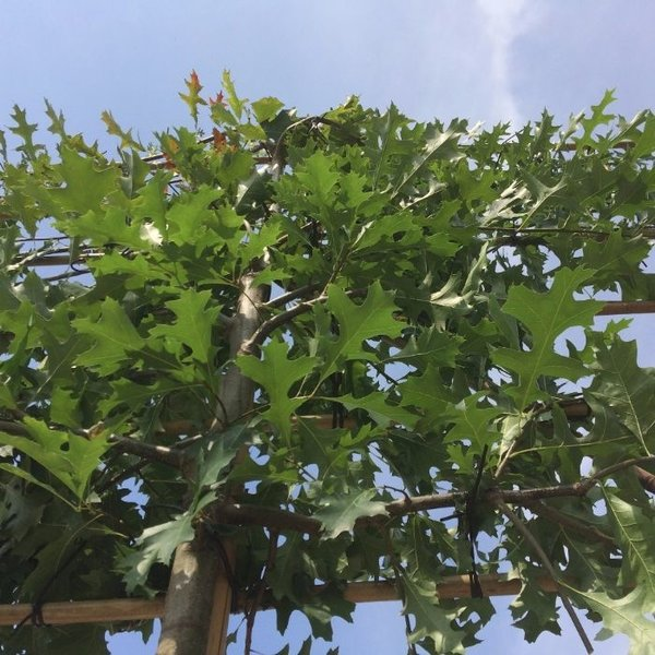 Lei-Moeraseik (Quercus Palustris)