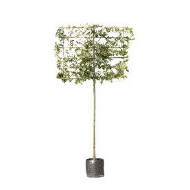 Fleur.nl - Lei-Moeraseik (Quercus Palustris)
