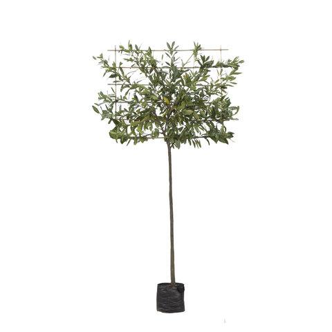 Prunus Lusitanica - lei-laurier