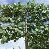 Lei-linde 'Tilia Europaea Pallida'