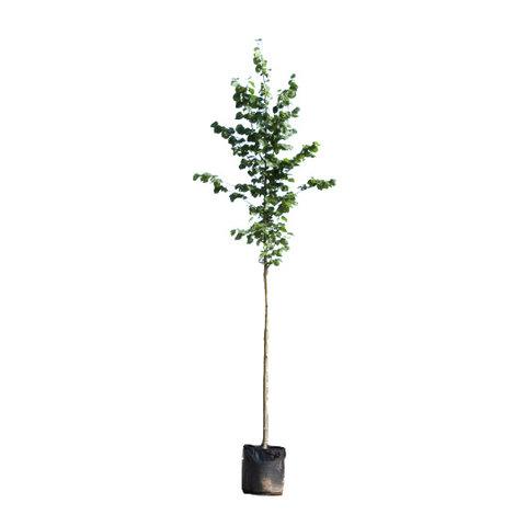 Tilia cordata 'Greenspire'