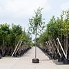 Quercus robur Zomereik
