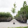 Quercus rubra Amerikaanse Eik