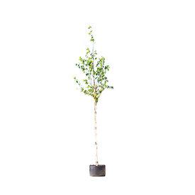 Fleur.nl - Betula utilis 'Jacquemontii' Witte Himalaya Berk