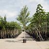 Betula albosinensis 'Fascination' Chinese Berk