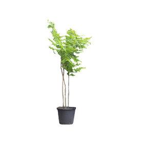 Fleur.nl - Gymnocladus dioica meerstammig Doodsbeenderenboom