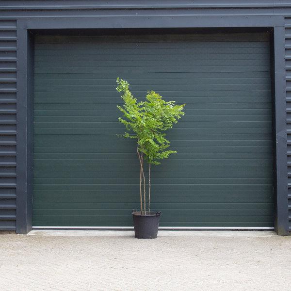 Gymnocladus dioica meerstammig Doodsbeenderenboom