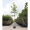 Platanus Hispanica Plantanenboom