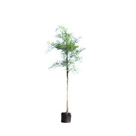 Fleur.nl - Sophora japonica Honingboom