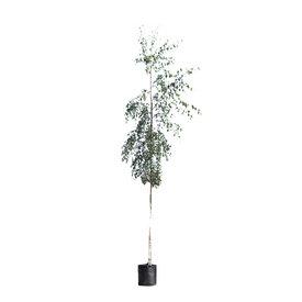 Fleur.nl - Betula pendula 'Tristis' Treurberk