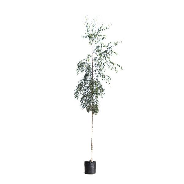 Betula pendula 'Tristis' Treurberk