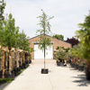 Salix sepulcralis 'Chrysocoma' Treurwilg