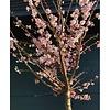Prunus subhirtella 'Autumnalis Rosea' Sierkers