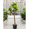 Ficus Lyrata Stam vertakt XXXL