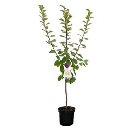 Fleur.nl - Prunus domestica 'Reine Claude d'Oullins' - laagstam