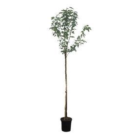 Fleur.nl - Prunus domestica 'Reine Claude d'Oullins' - hoogstam