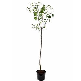 Fleur.nl - Prunus domestica 'Reine Claude Verte' - halfstam