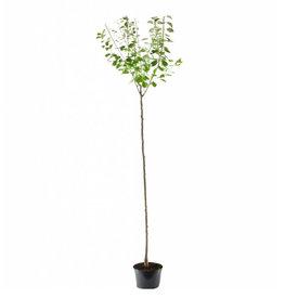 Fleur.nl - Prunus domestica 'Reine Claude Verte' - hoogstam