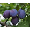 Prunus domestica 'Czar' Pruim