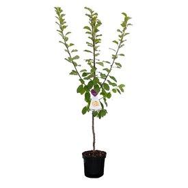 Fleur.nl - Prunus domestica 'Czar' - laagstam